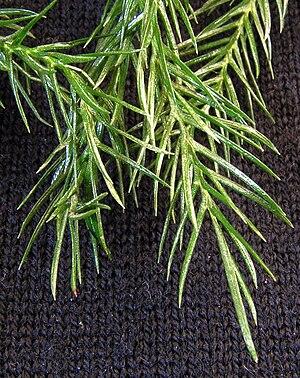 Araucaria heterophylla20090409 28.jpg