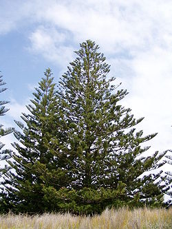 Arboj de pinofita specio: Araucaria heterophylla (Araucariaceae)
