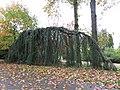Arboretum de Bagnoles - Cèdre de l'Atlas pleureur.jpg