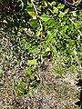 Arbuste méditerranéen à identifier1.jpg