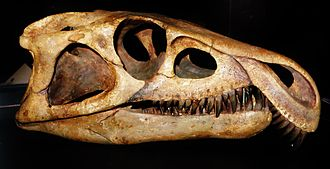 Proterosuchidae - Restored skull of Archosaurus