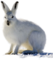 Arctic hare edited by K Abdelhamid.png