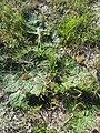 Arctopus echinatus - Kenwyn Nature Park 4.jpg