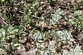 Arctostaphalos pungens (Ericaceae) (25030379955).jpg