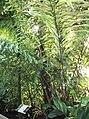 Arecales - Arenga undulatifolia - 16.jpg