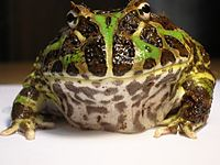 Regular Argentine horned frog