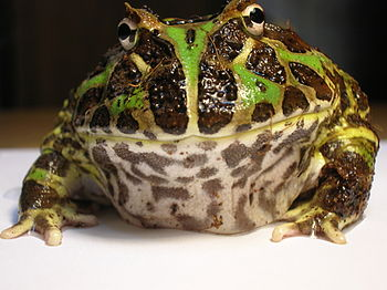 This is my pet Argentine Horned Frog (Ceratoph...