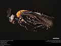 Argid sawfly (Argidae, Neoptilia tora (Smith)) (36094806784).jpg