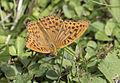 Argynnis paphia - Cengaver 05.jpg