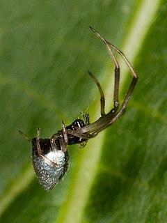 <i>Argyrodes</i> Genus of spiders