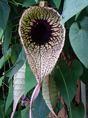 Description de l'image Aristolochia_grandiflora_1.jpg.