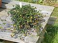 Aristolochia sempervirens (18924086690).jpg