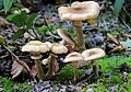 Armillaria mellea, Honey Fungus, Enfield, UK.jpg