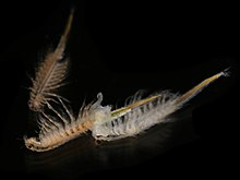 Brine shrimp - Wikipedia
