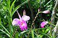 Arundina graminifolia-Singapour.jpg