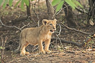 Asiatic Lion Cub.jpg