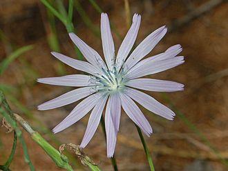 Lactuca perennis - Flower of Lactuca perennis