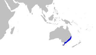 Orange-spotted catshark Species of shark