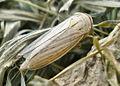 Athysanus argentarius.jpg