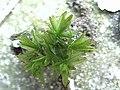 Atrichum undulatum (3).jpg