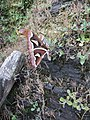 Attacus Atlas moth at Hmuifang, Mizoram 4.jpg
