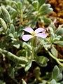 Aubrieta scardica kz01.jpg