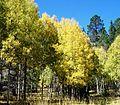 Autumn Aspens (3962792987).jpg