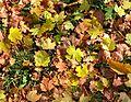 Autumn leaves (Izyum 2014).jpg