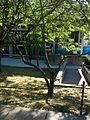 B39 Cucumber Magnolia Distance.jpg