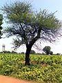 Babhul tree 01.jpg