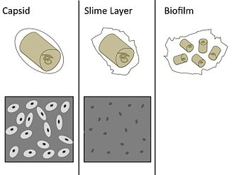 Bacterial capsule - A bacterial capsule has a semi-ridged border that follows the contour of the cell. The capsule excludes India Ink when dyed. A slime layer is a non-ridged matrix that is easily deformed and is not able to exclude India Ink. Biofilms are composed of many cells and their outer barriers. The primary functions of both capsules and slime layers are for protection and adhesion.