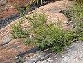 Baeckea diosmifolia.jpg