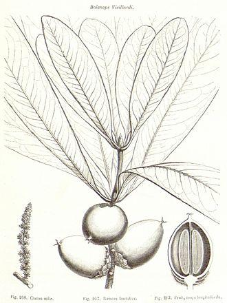 Balanops - Balanops vieillardii line drawing