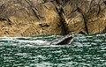 Ballena jorobada (Megaptera novaeangliae), Bahía de la Resurección, Seward, Alaska, Estados Unidos, 2017-08-21, DD 40.jpg
