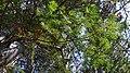 Balsam Fir (Abies balsamea) - Springdale, Newfoundland 2019-08-16 (02).jpg