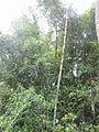 Bamboo - മുള 01.JPG