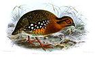 Изображение округлой птицы с коричневой спиной, каштановой головой, шеей и грудью, большими белыми пятнами по бокам и оранжевыми лапами и ступнями, идущей по земле.