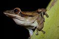 Banana Tree Frog (Polypedates leucomystax)9.jpg