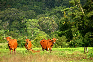 Java - Banteng at Alas Purwo, eastern edge of Java