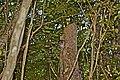 Bar-legged Owl in Cienaga de Zapata, Cuba.jpg