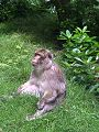 Barbary macaque at Trentham Monkey Forest (50).jpg