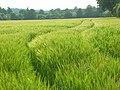 Barley, Basildon - geograph.org.uk - 814140.jpg