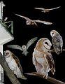Barn Owl From The Crossley ID Guide Eastern Birds.jpg