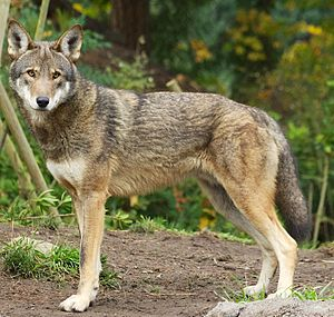 Coywolf - Red wolf