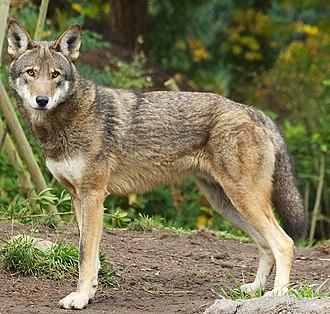Coywolf - Red wolf