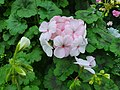 Batch of cute white-pink flowers.jpg