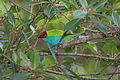 Bay-headed Tanager (Tangara gyrola) (4508968235).jpg