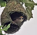 Baya Weaver (Ploceus philippinus)- Male at nest in Kolkata I IMG 8198.jpg