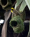 Baya Weaver Ploceus philippinus male Breeding plumage by Dr. Raju Kasambe DSC 5420 (27).jpg