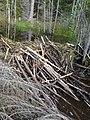 Beaver dam in a stream 1.jpg